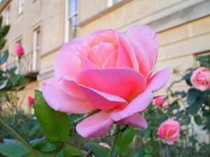 Oxford_rose_Rimg1673_red